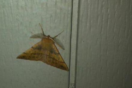 Papillon jaune sur mon portail le 31 octobre